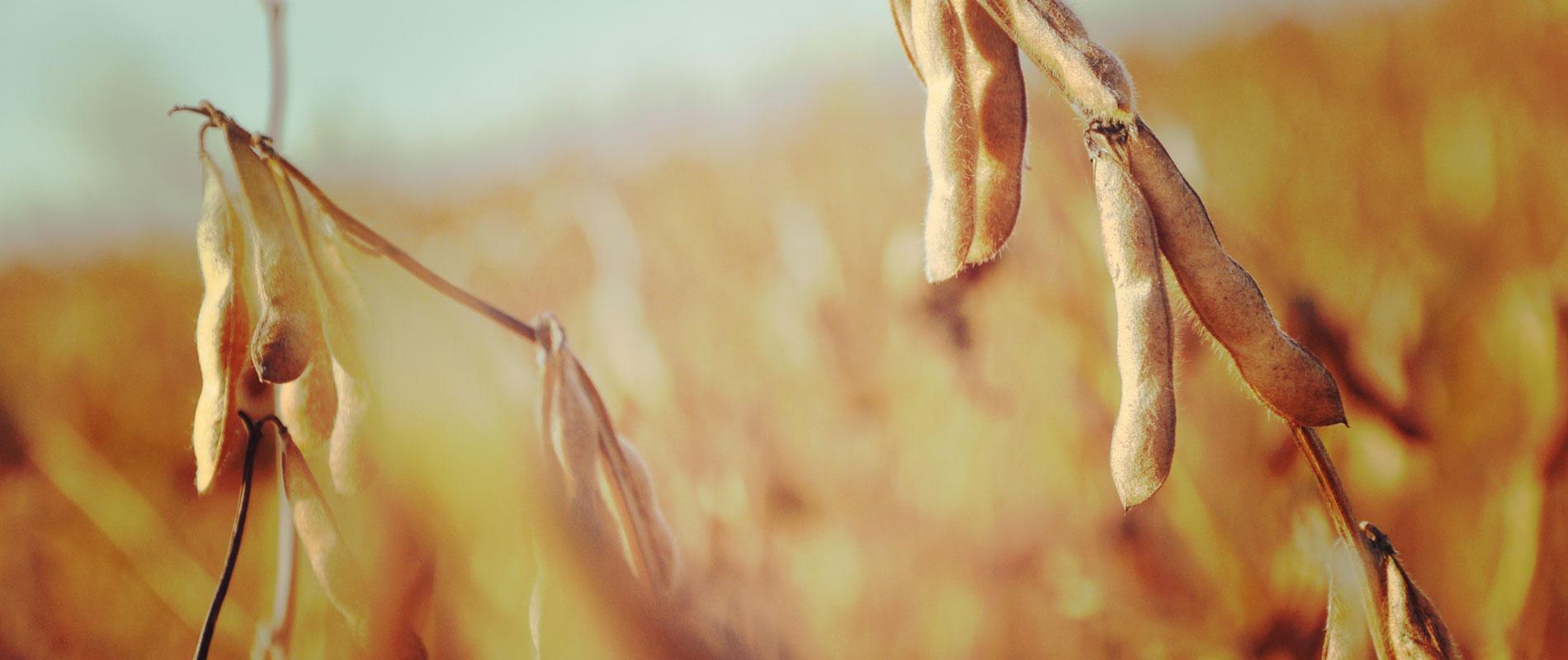 Pflanze   Wenn das Weizenkorn nicht in die Erde fällt und stirbt, bleibt es allein; wenn es aber stirbt, bringt es reiche Frucht. (Johannes-Evangelium 12,24)